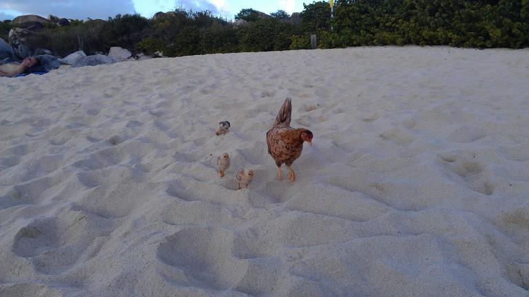 Happy island chickens
