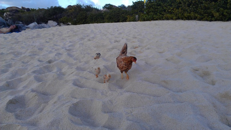 Happy island chickens